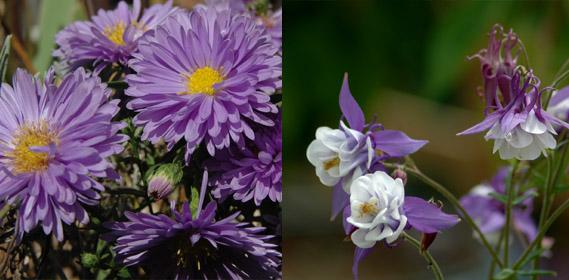 Les grandes gelées passées, elles triplent de volumes voir plus et fleurissent généreusement au printemps.